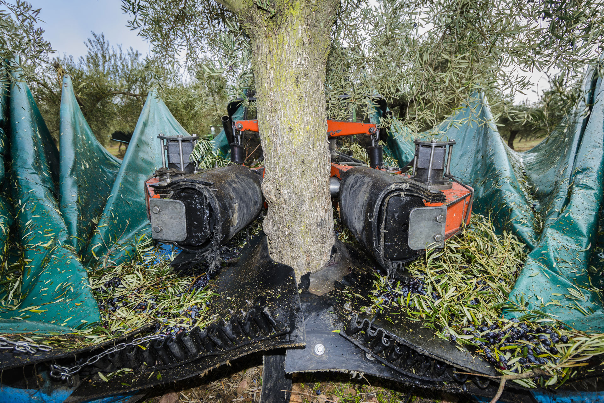 Cosecha olivas aove