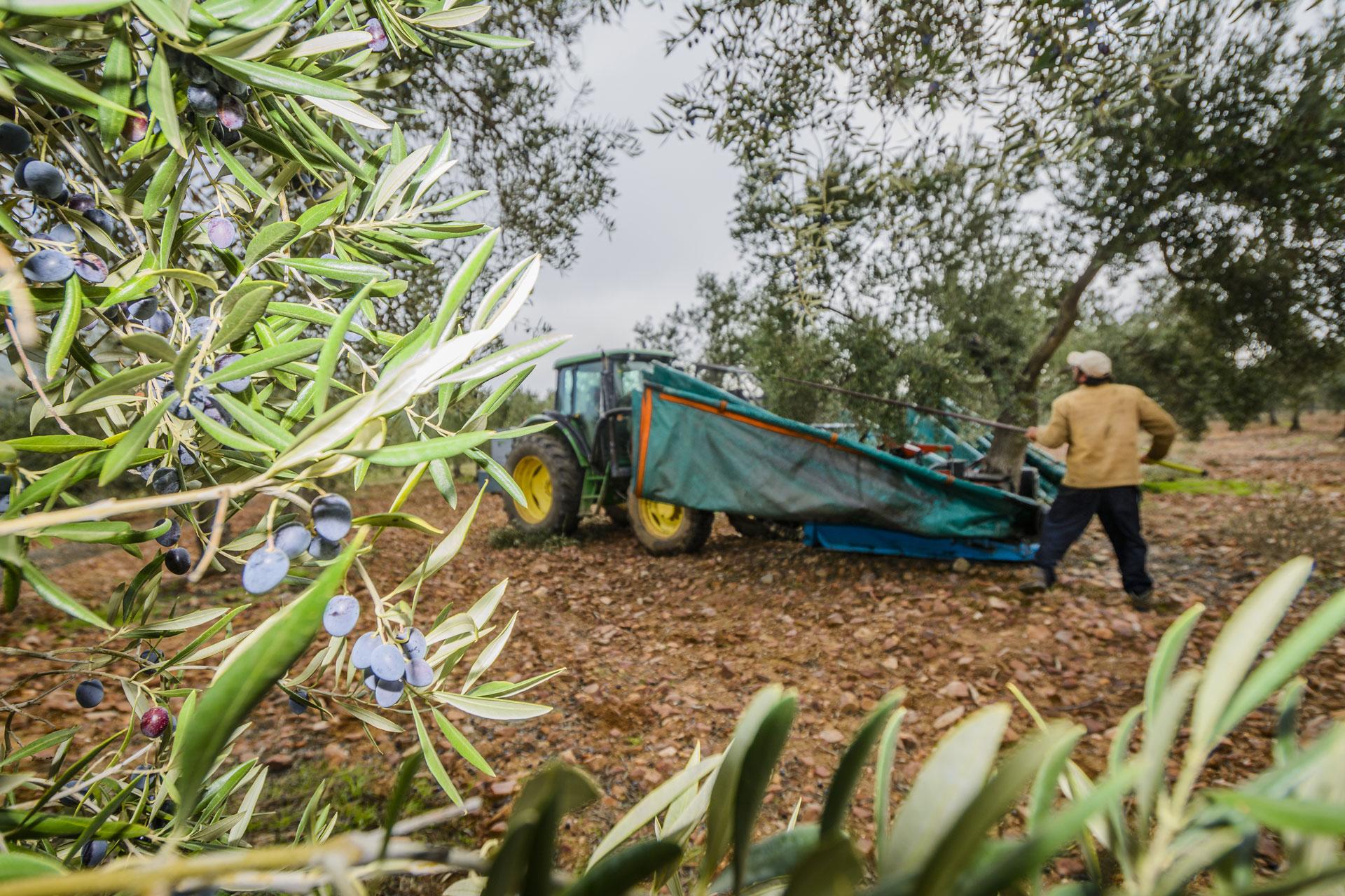 Recogida tradicional olivas