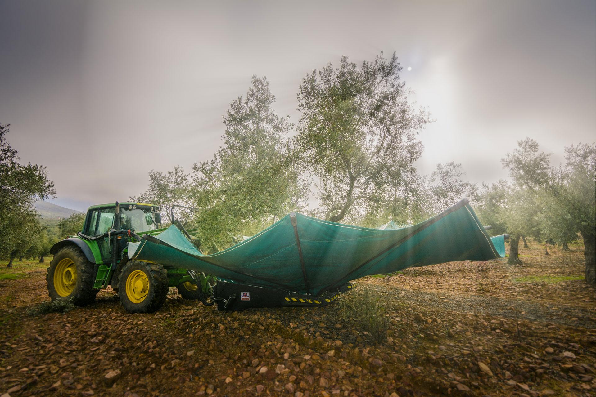 Recogida olivas aceite
