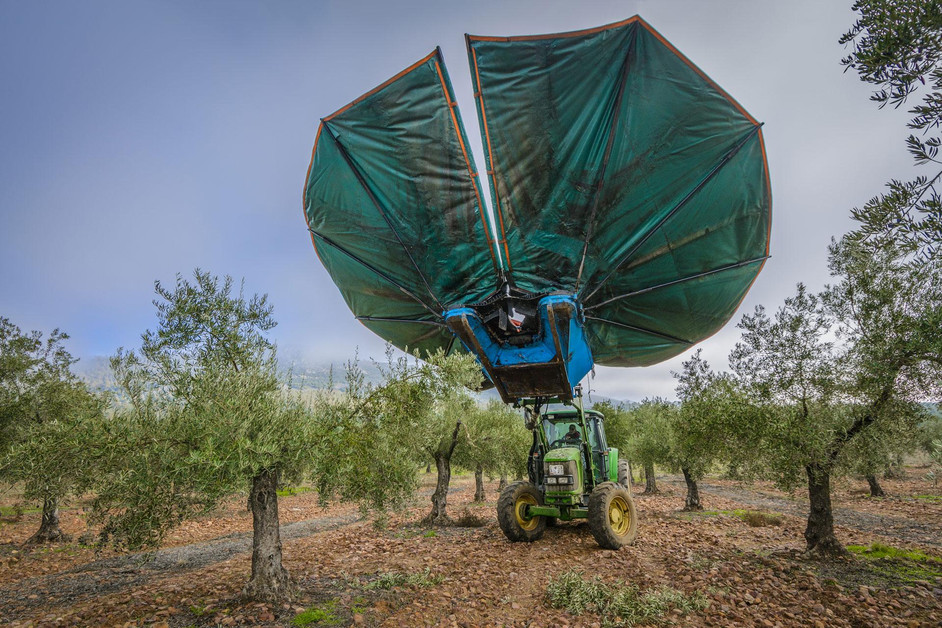 Recolecta de olivas aove