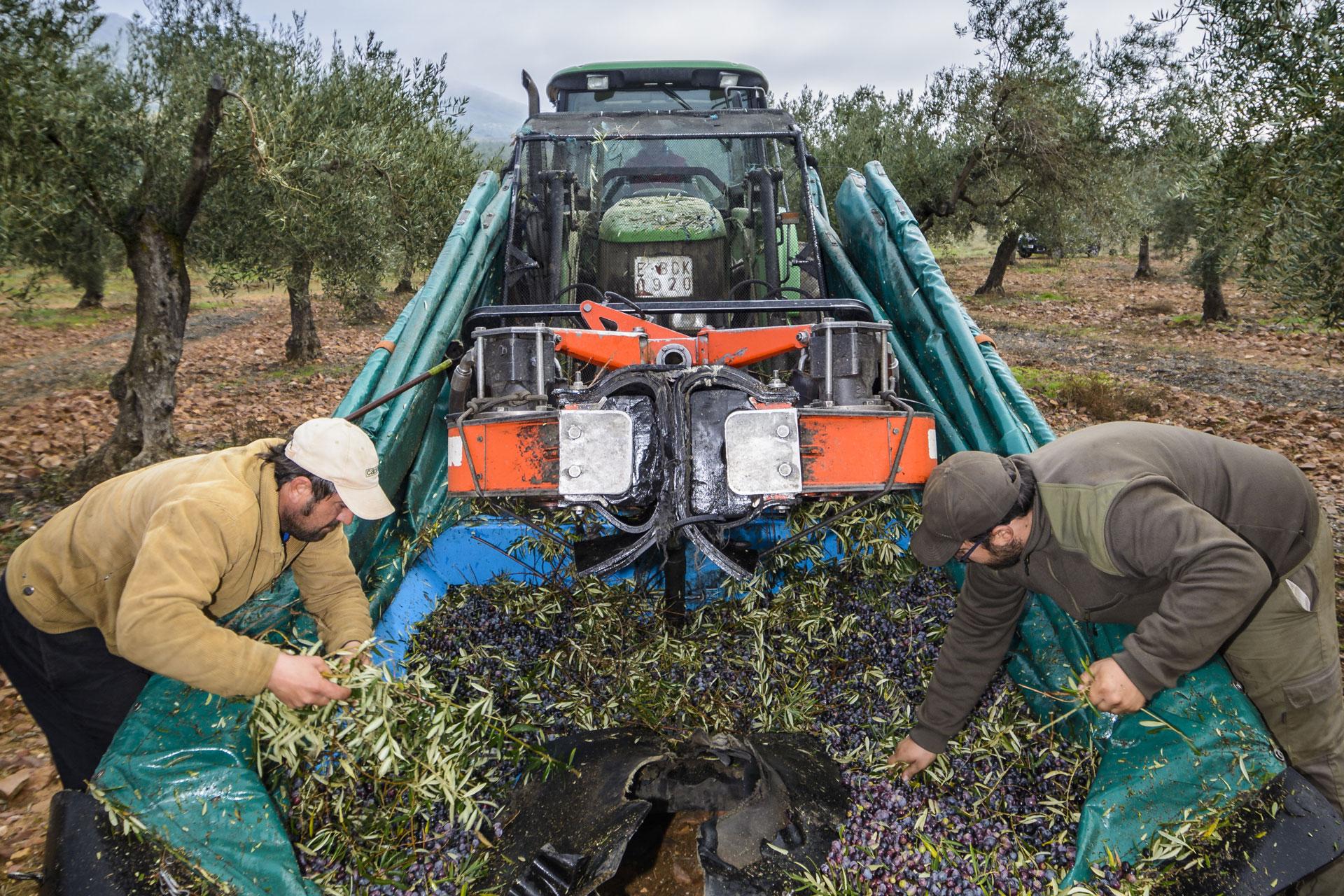 Recolecta de olivas para aove