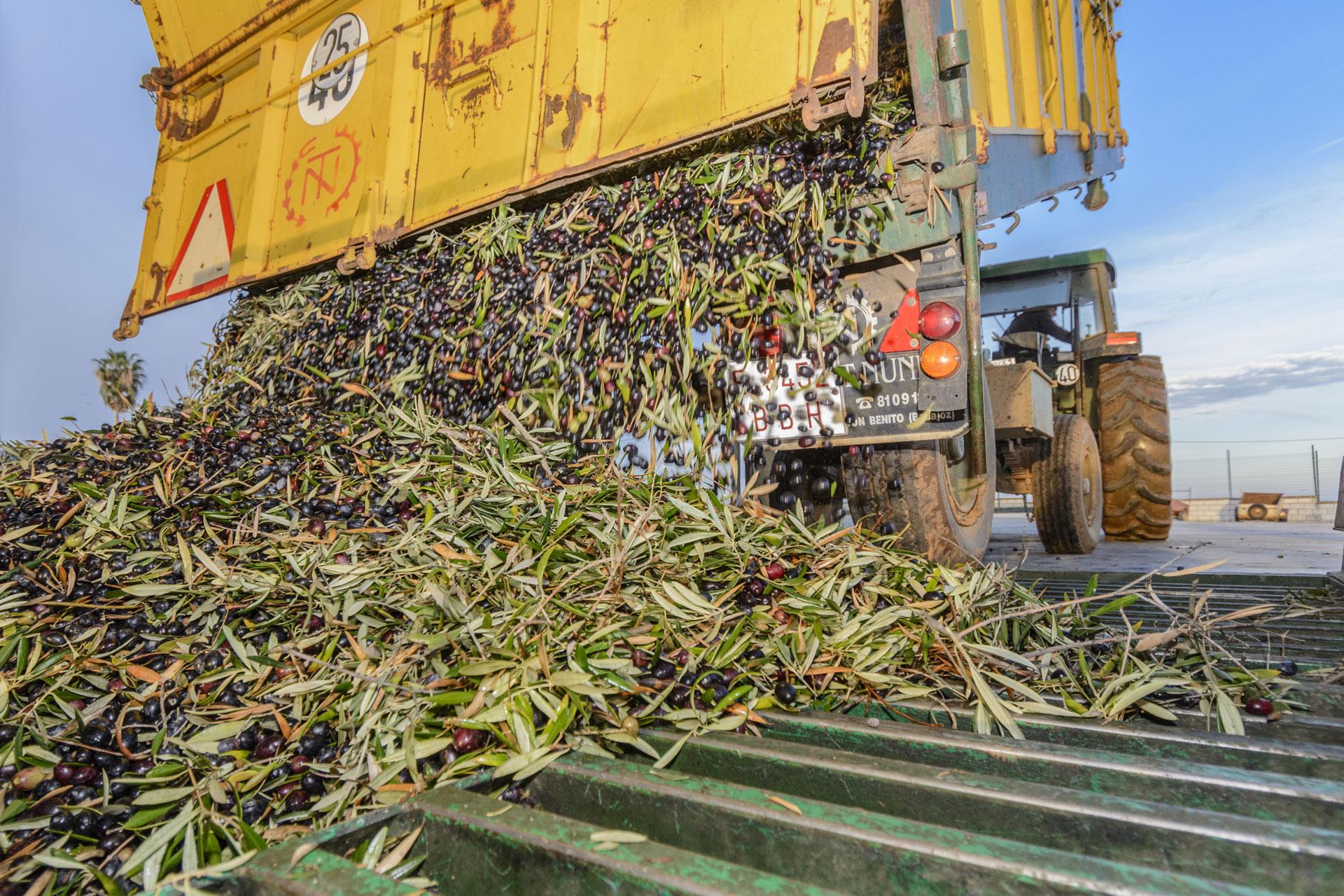 Descarga de olivas para el aceite de oliva virgen extra
