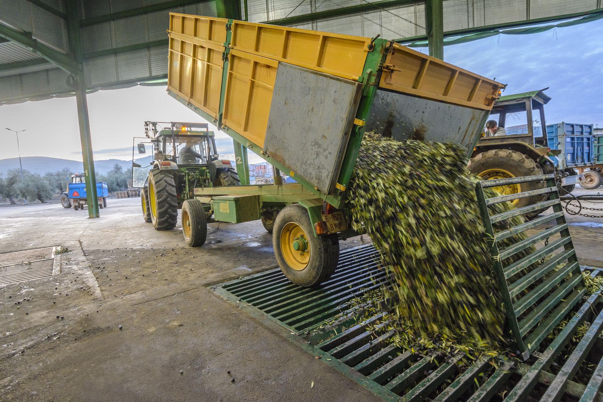 Descarga de olivas para el aceite de oliva