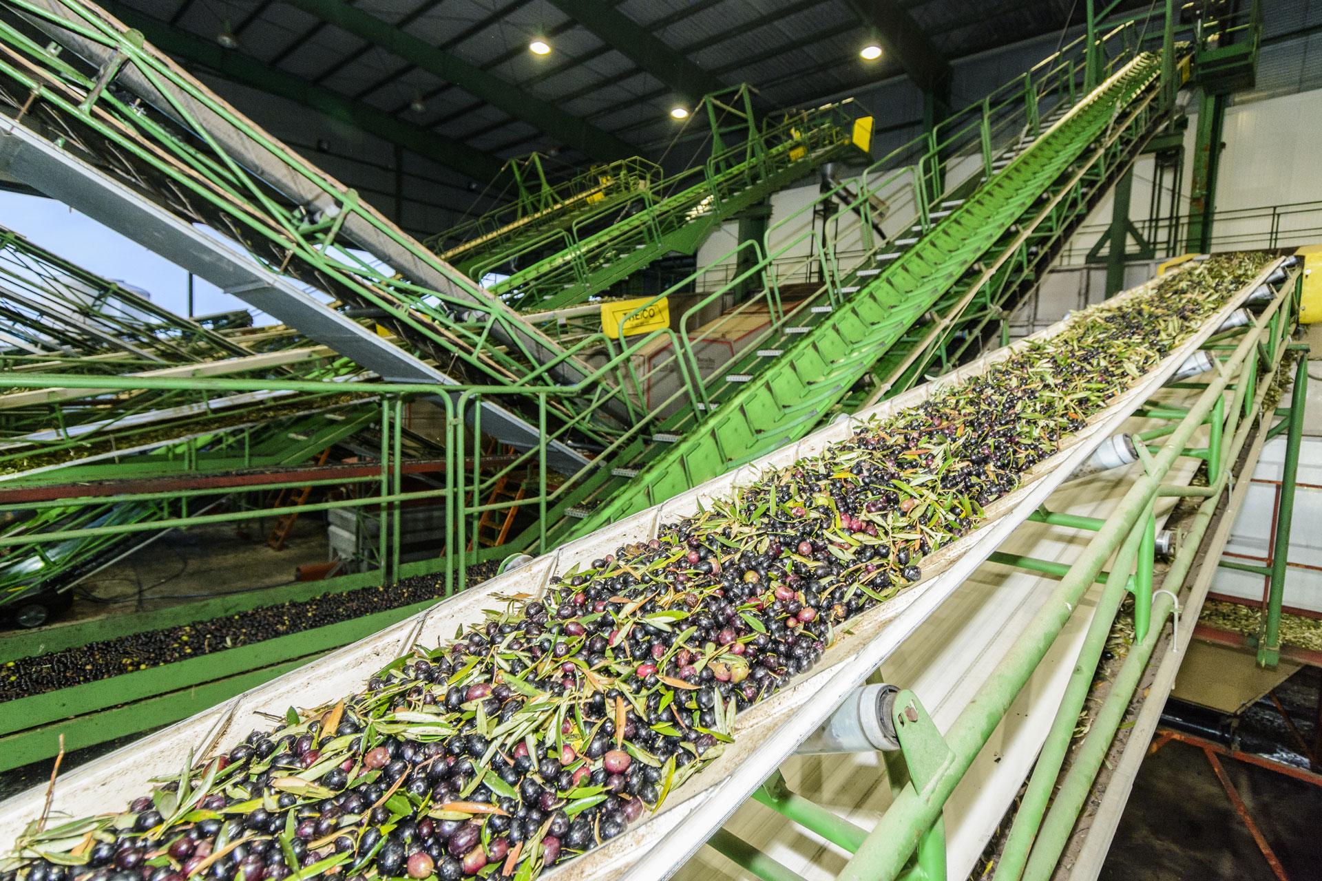 Cintas transportadoras de olivas